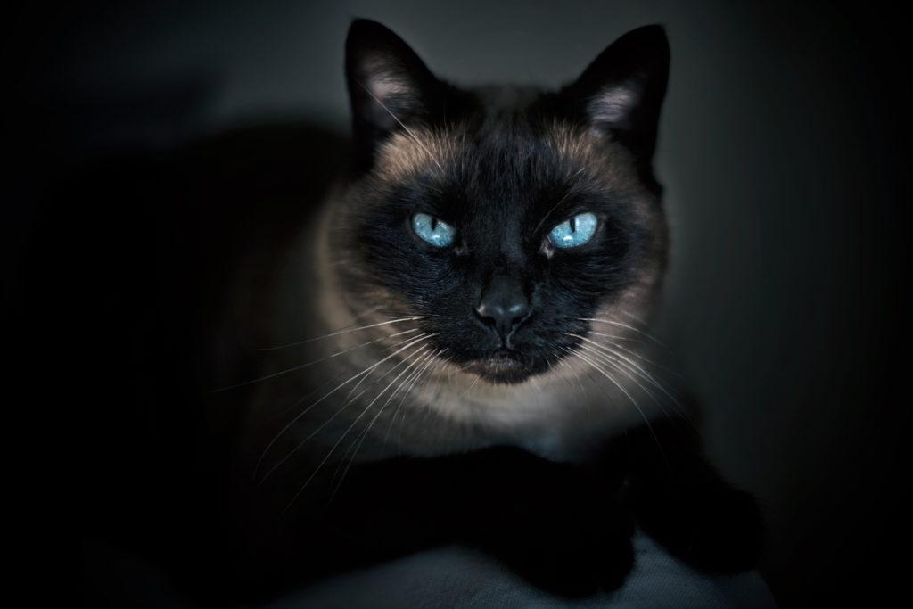 Photographe animaux de compagnie, chat, studio