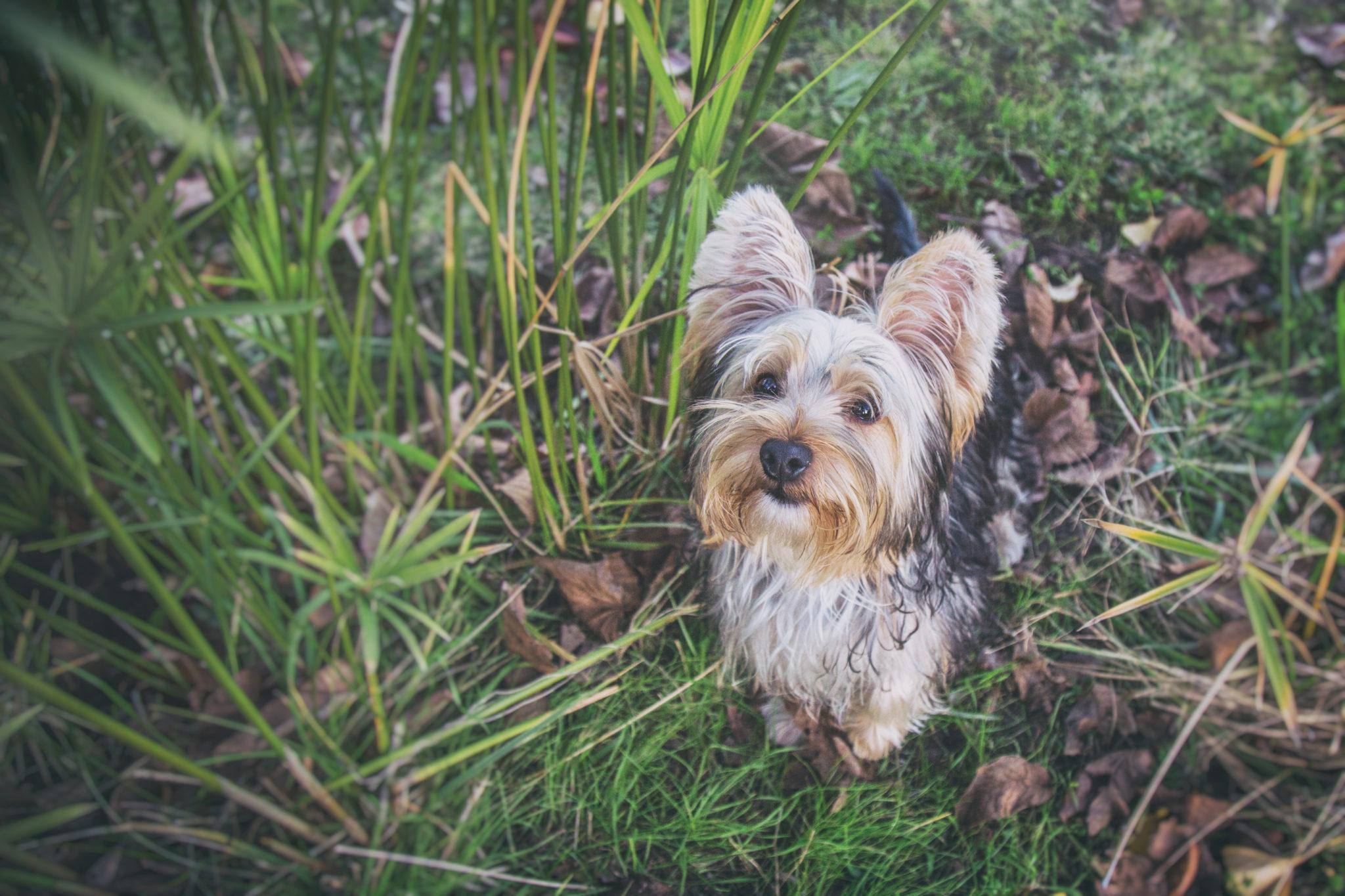 Photographe animaux de compagnie, chien, Yorkshire