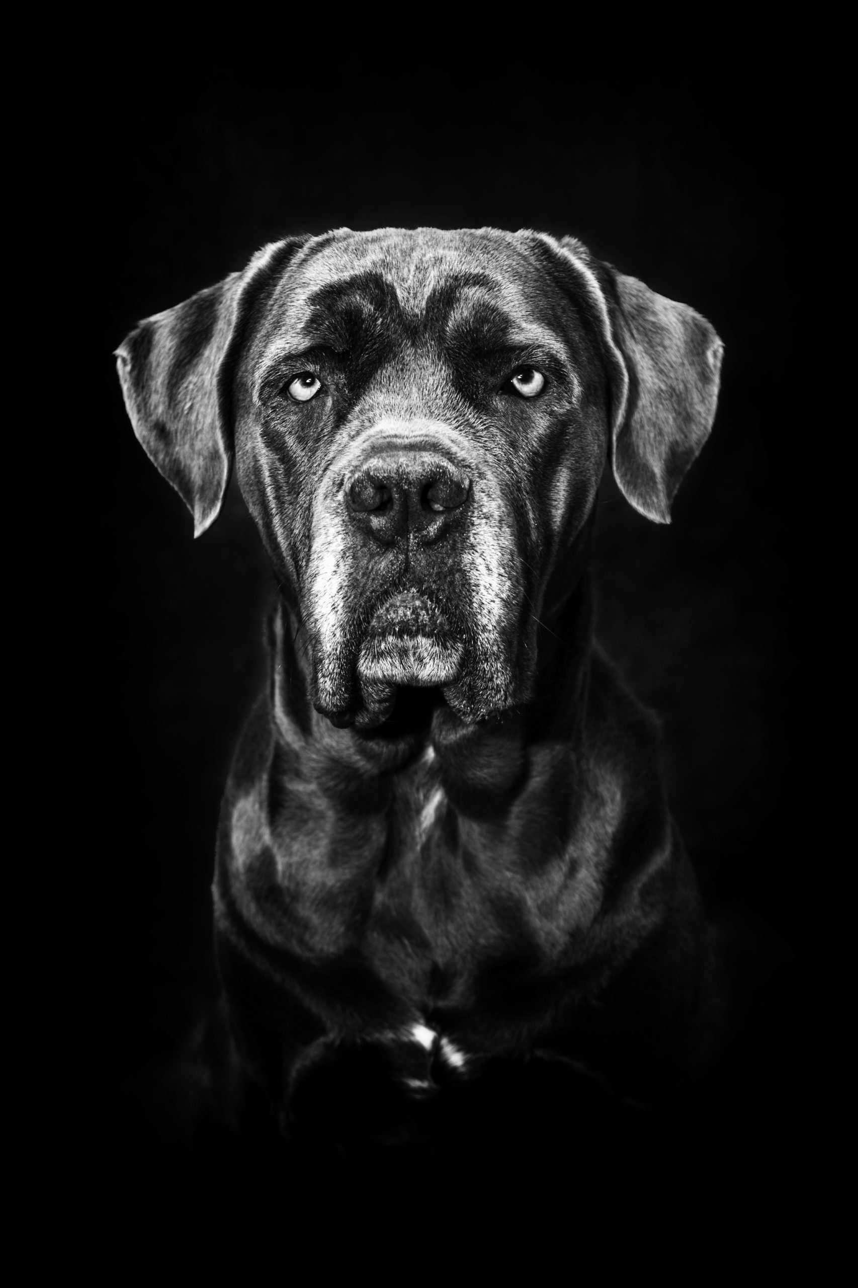 Photographe animal de compagnie, chien, portrait noir et blanc