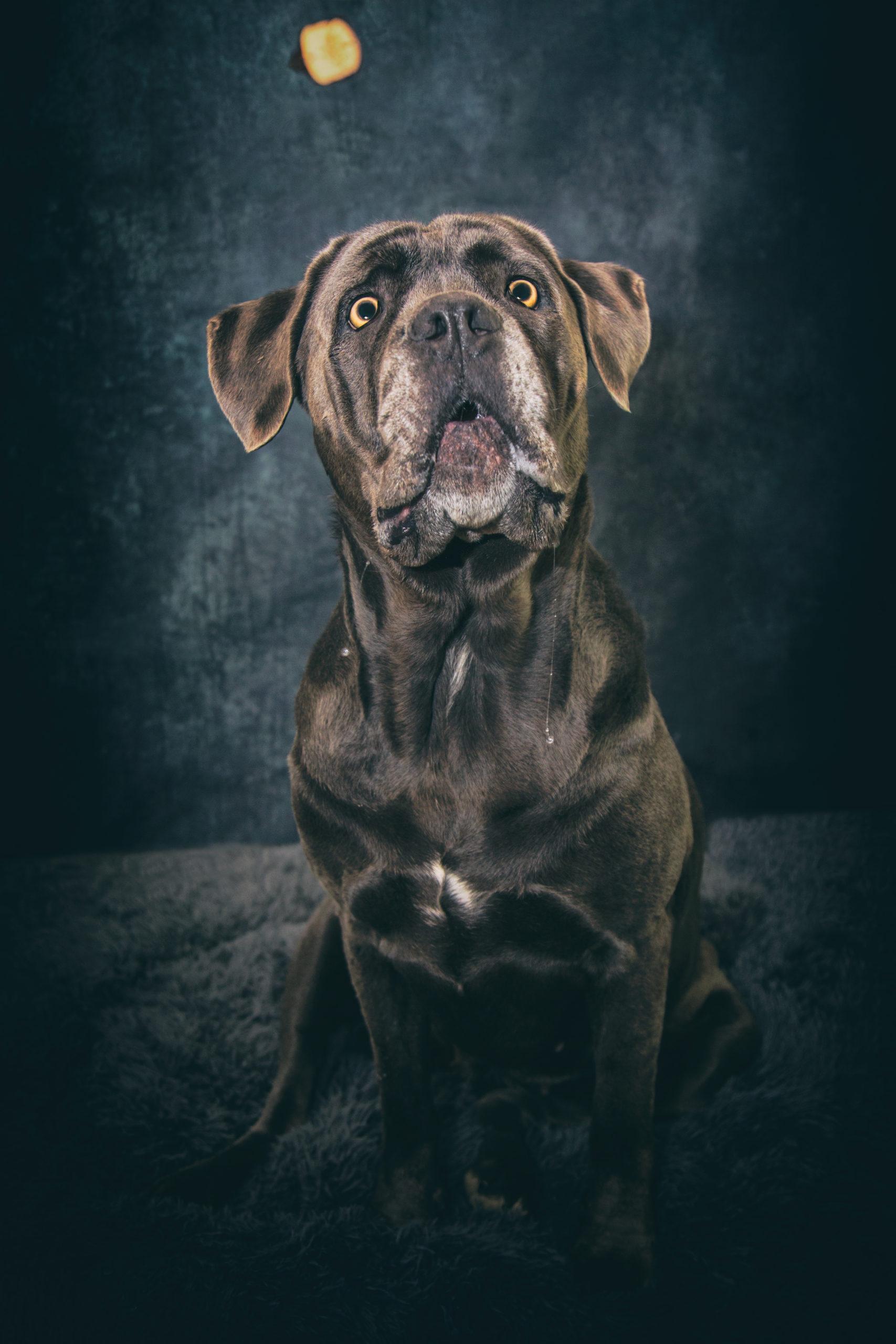 Photographe animal de compagnie, chien, croquette en vol