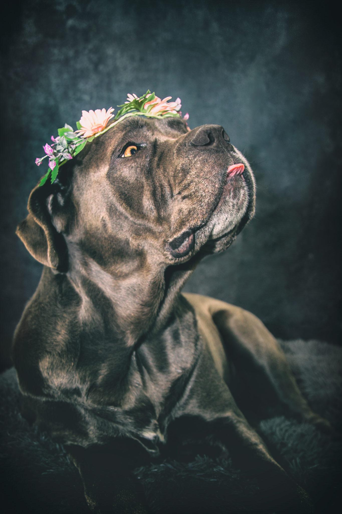 Photographe animal de compagnie, chien, Cane Corso