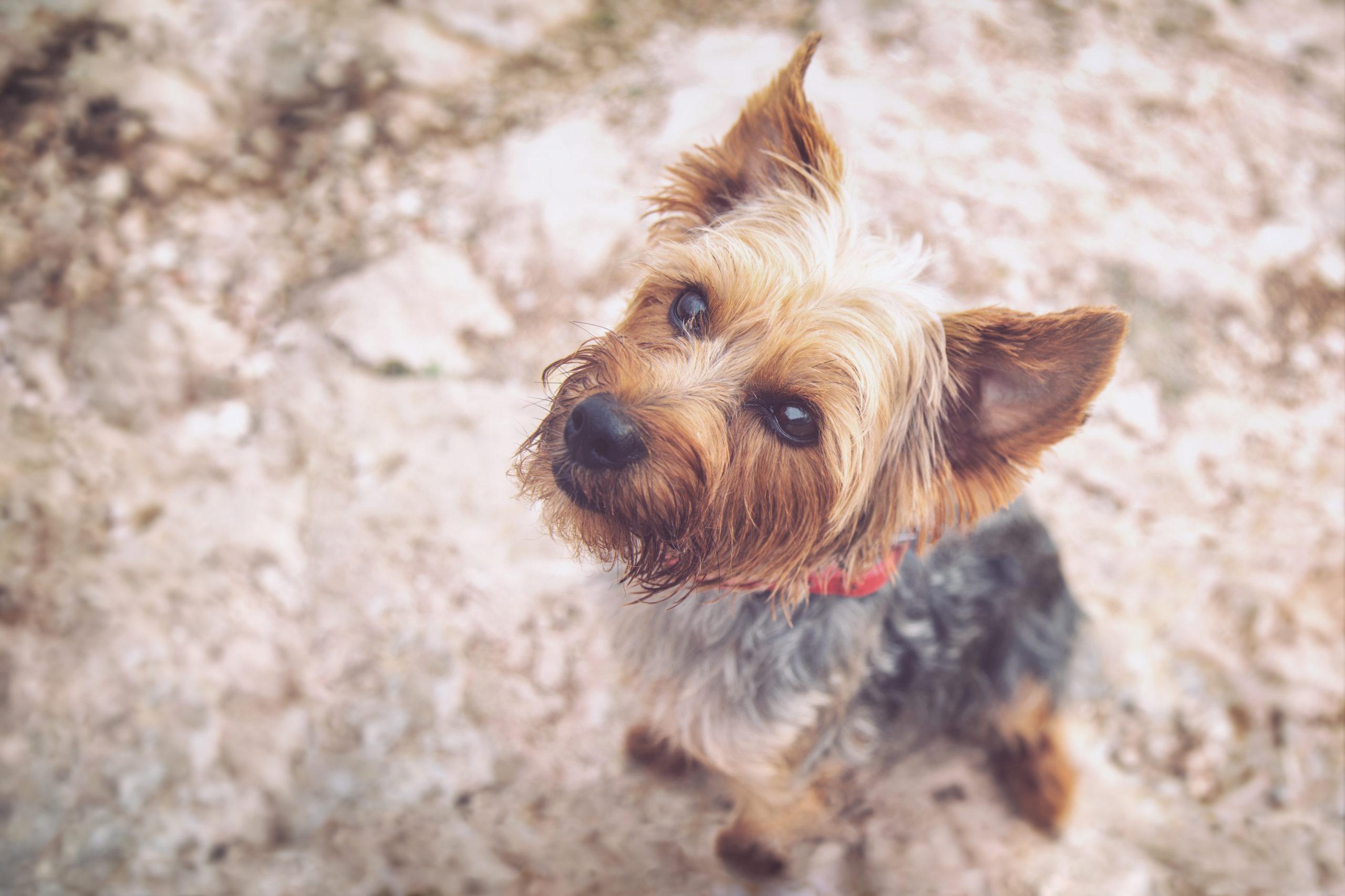 Photographe animal de compagnie, chien Yorkshire