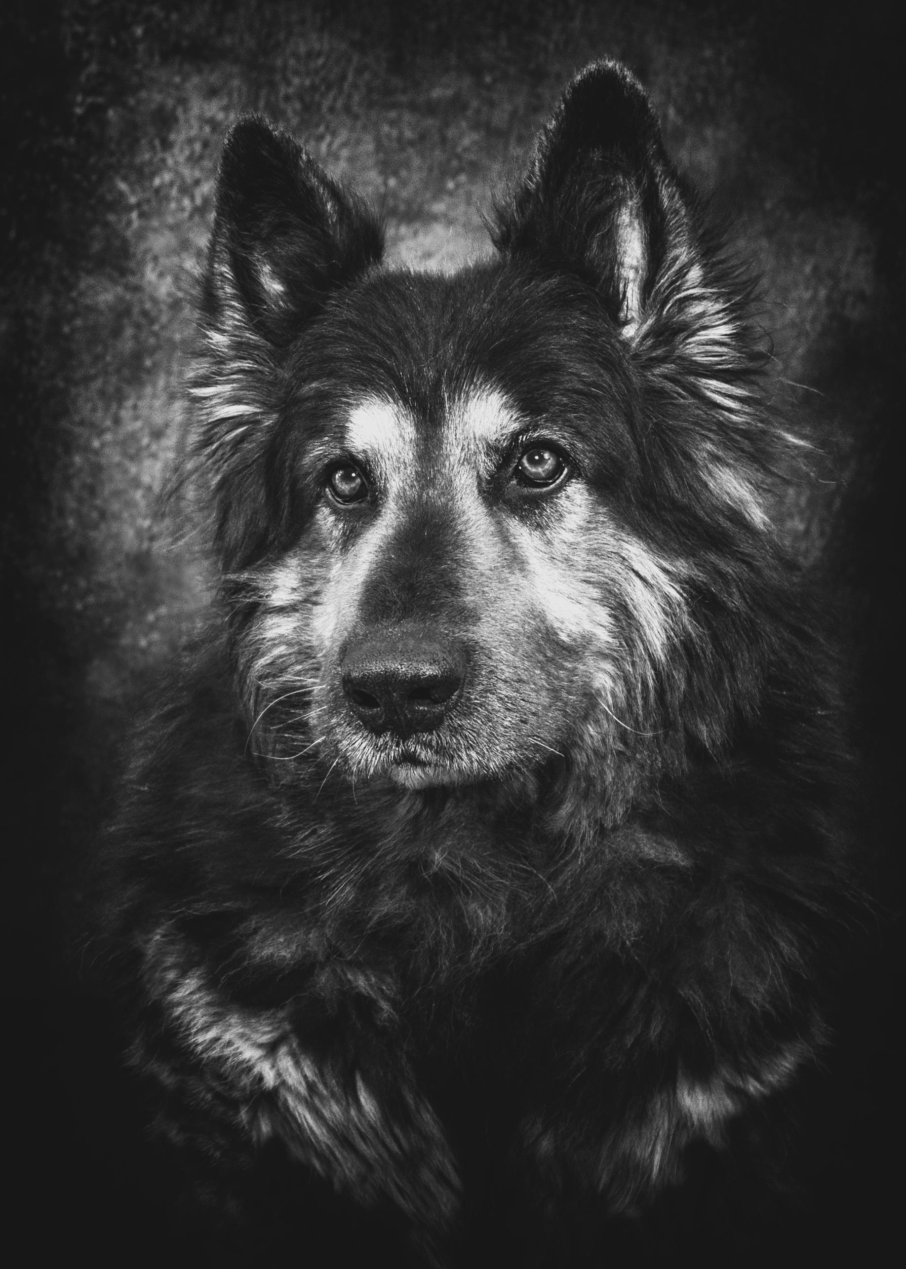 Photographe animal de compagnie, chien, Berger Allemand, noie et blanc