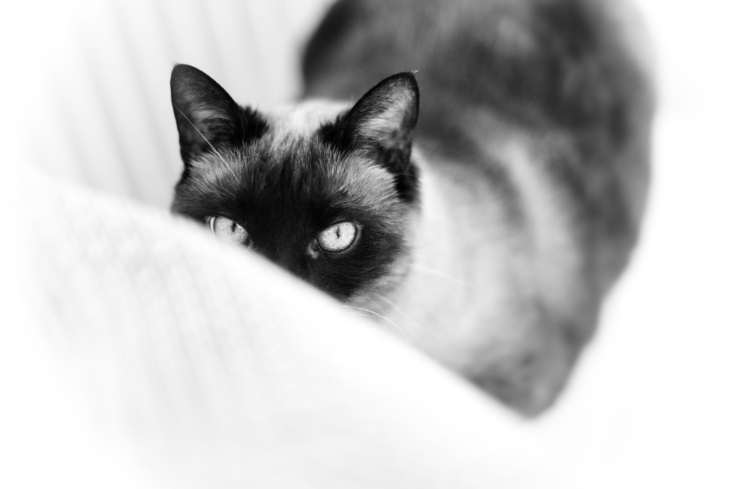 Photographe animal de compagnie, chat, noir et blanc