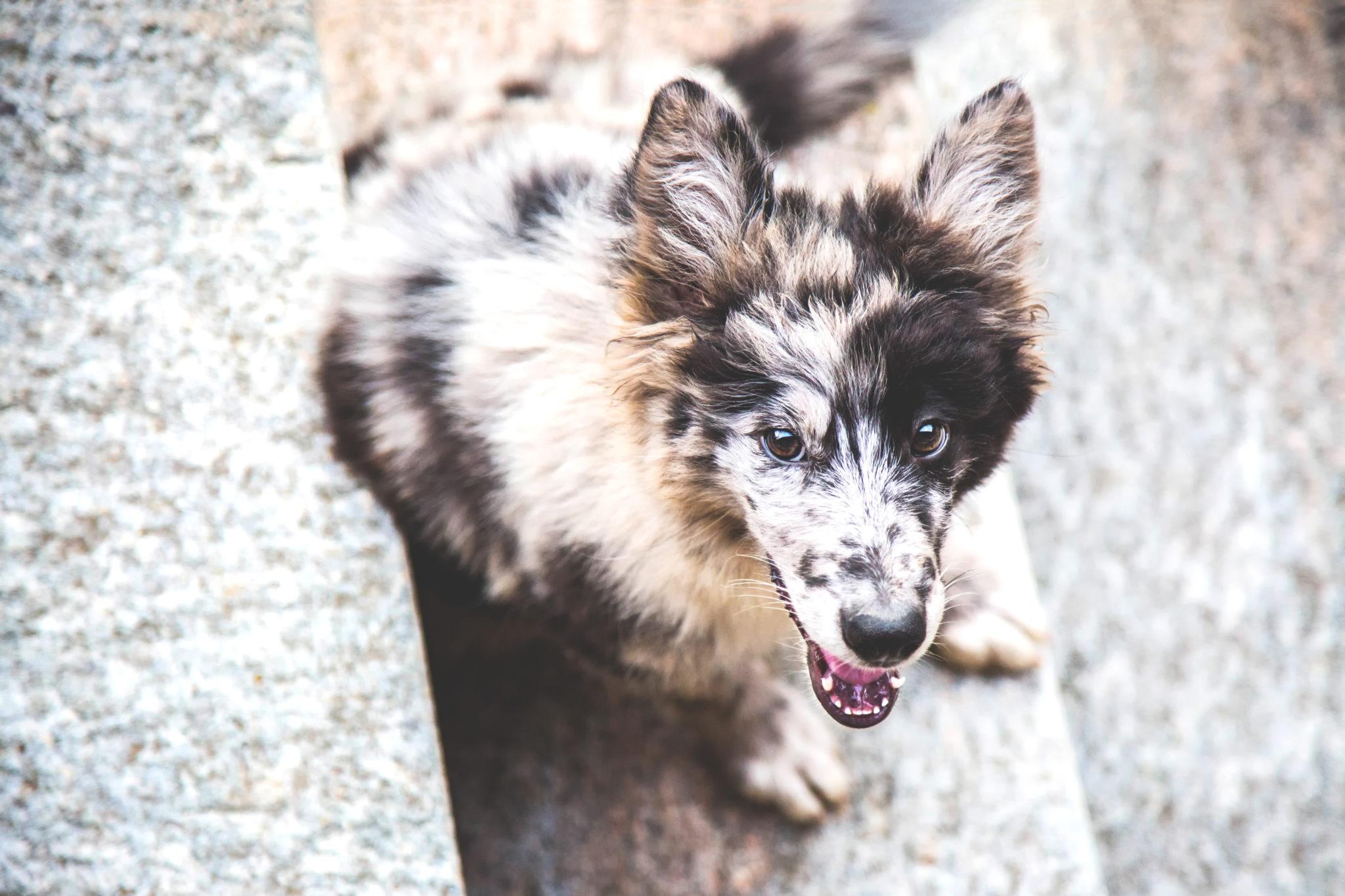 Photographe animal de compagnie, chien, Berger Australien