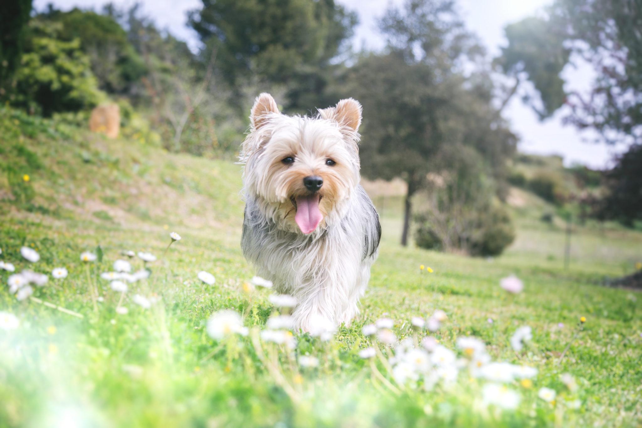 Photographe animal de compagnie, chien, Yorkshire