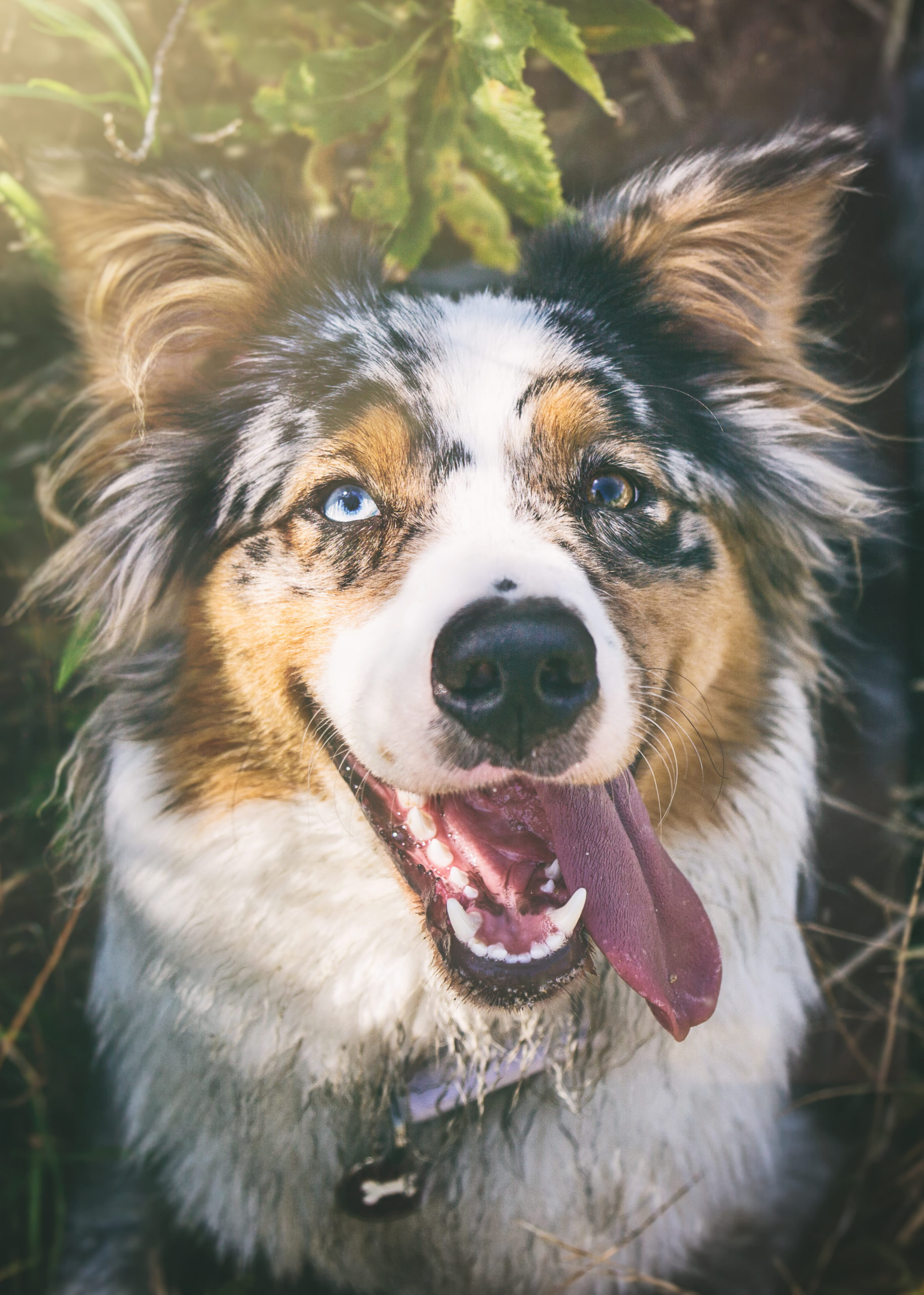 Photographe animal de compagnie, photographe pour chien, Berger Australien