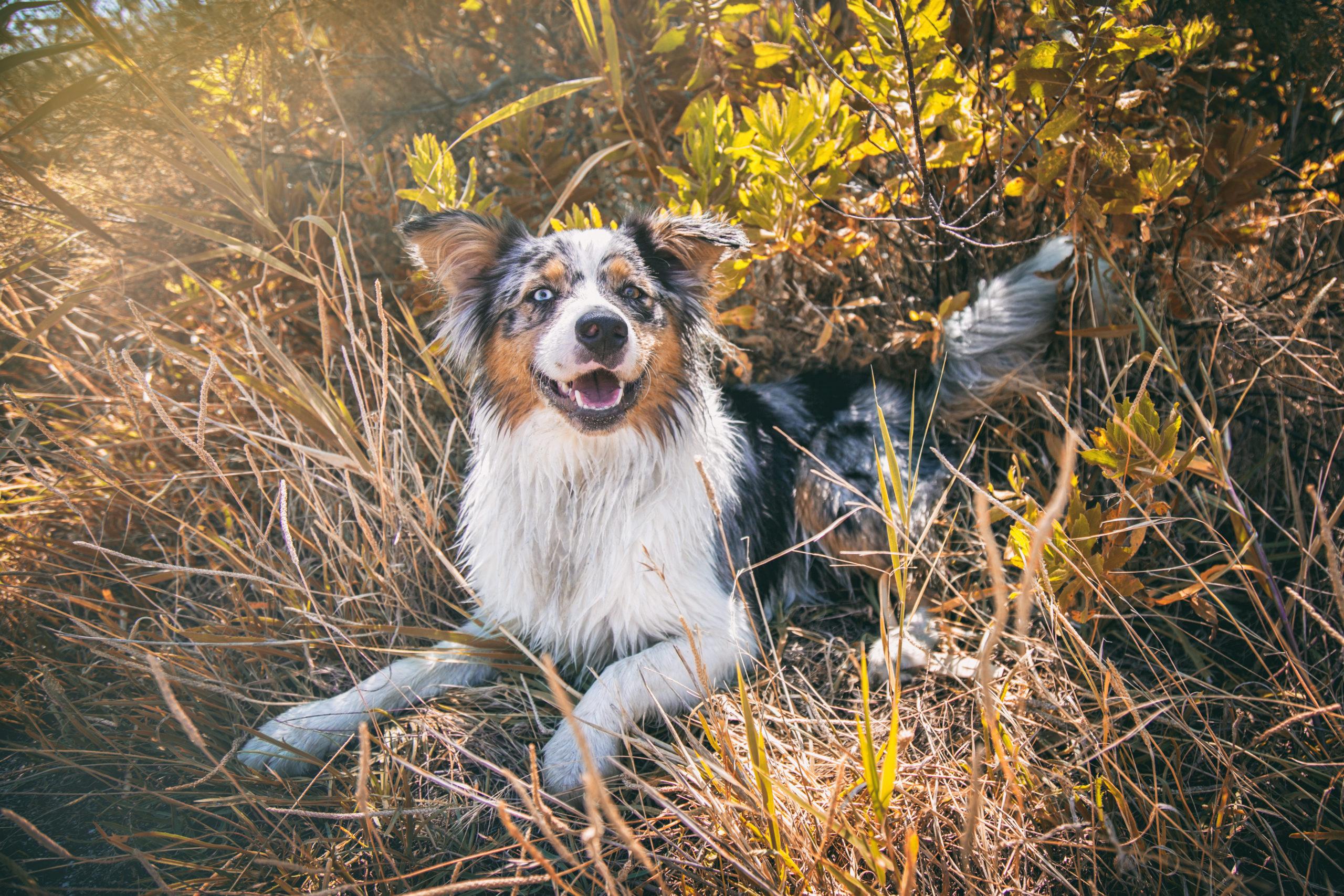 Photographe animal de compagnie, portrait chien, berger australien