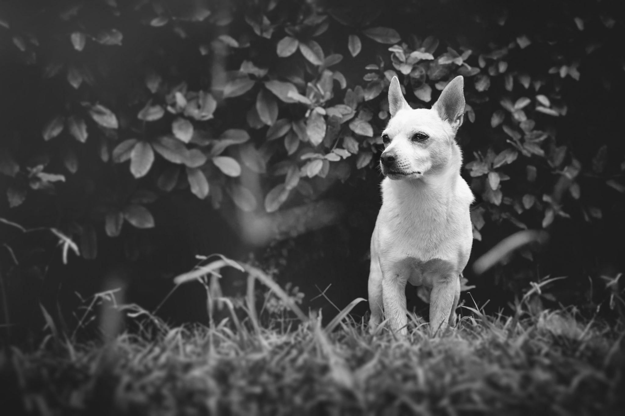 Photographe animal de compagnie, chien, Jack Russel
