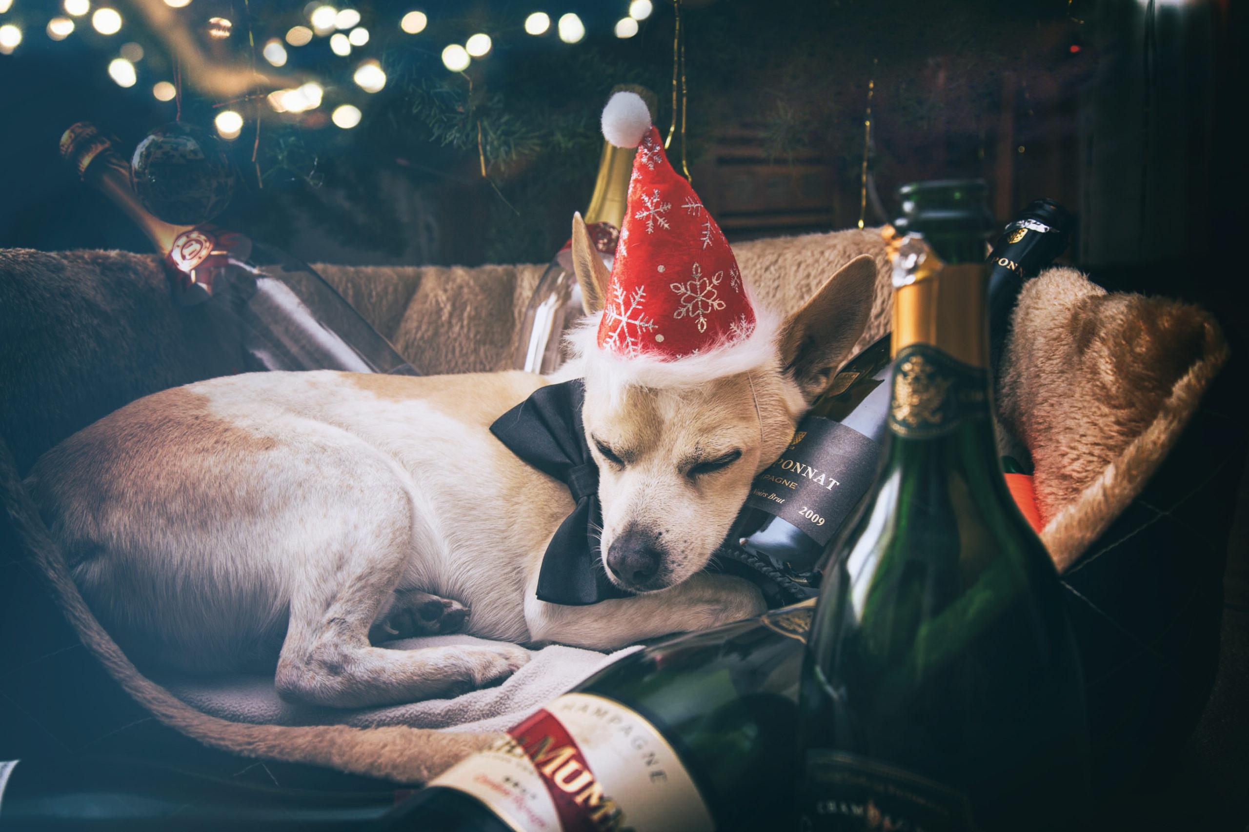 Photographe animal de compagnie, chien, noël